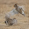Prairie Chicken Fight