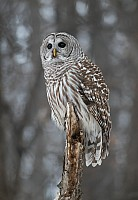 Barred Owl Stare