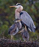 Great Blue Heron - Bad Hair Day
