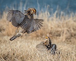 Prairie Chicken Dance