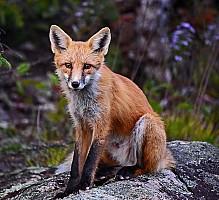 Foxy on the Gunflint Trail