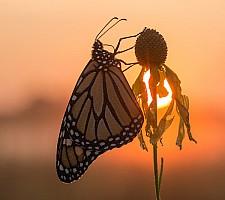 Sunrise Monarch