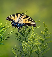 Giant Swallowtail on Branch
