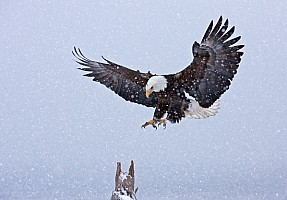 Bald Eagle Landing in Snow