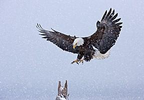 Bald Eagle Landing in Snow