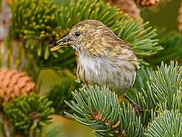 Pine Siskin with seed