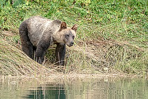 Juvenile Grizzly
