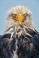 Wet Eagle Portrait