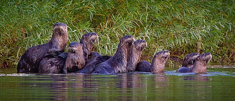 Early Evening Otters