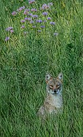 Seurat's Coyote on a Sunday Afternoon