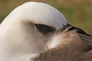 Laysan-Albatross