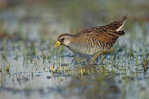 Sora Feeding in the Marsh