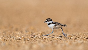 Baby Killdeer Stepping Out