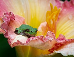 Tree Frog on Daylily