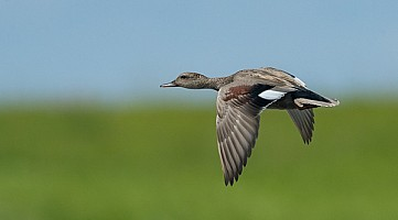 Drake Gadwall on the Wing