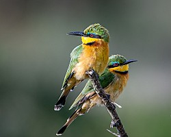 Two Little Bee Eaters