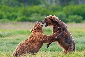 Kodiak Bear Keep-Away Games