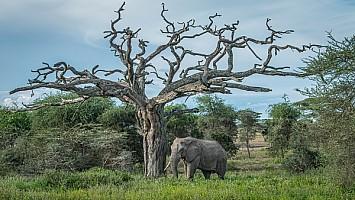 One Tusk Under Acacia