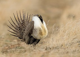 Greater Sage Grouse Displaying