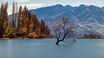 Lone_Tree_of_Wanaka_at_midday