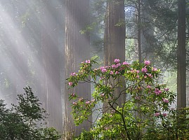 Fog Rays and Rhodies!