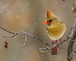 Female-cardinal-In-Light-Snow