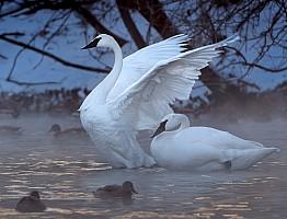 Swans in Fog