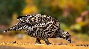 Spruce Grouse Getting Grit