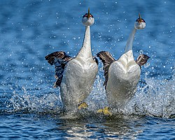 Western-Grebes-Rushing