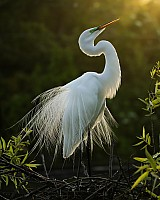 Morning-Egret