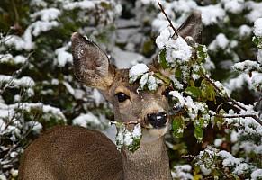 Mule-deer-snow