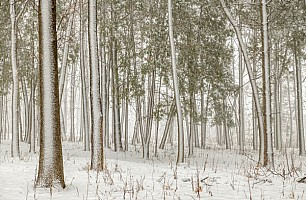 Pine-Forest-in-Winter