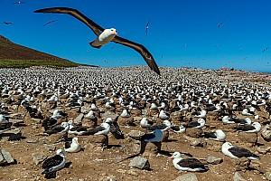 Albatross-Flying-Over-Rookery