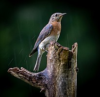 Eastern-Bluebird-in-the-Rain