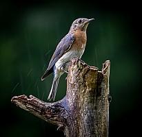 Eastern-Bluebird-in-the-Rain