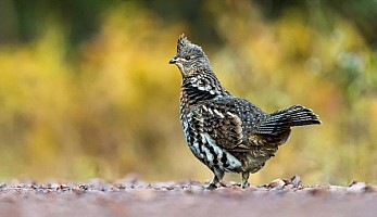 Ruffed-Grouse-Picking-Grit