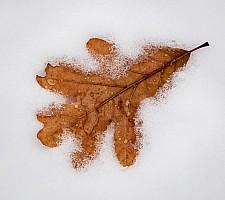 Fallen-Oak-Leaf