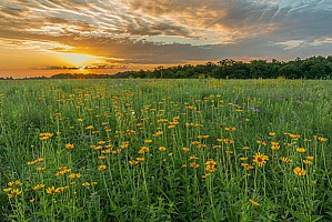 Field-of-Coreopsis