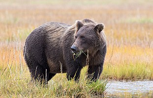 Grazing-Brown-Bear