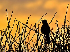 Brown Thrasher Sunset