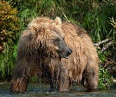 Dawn Bear
