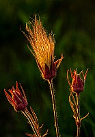 Backlit Prairie Smoke
