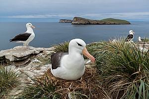 Albatross and Island