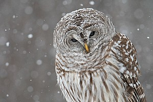 Bard owl in snow