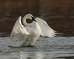 Trumpeter Swan Rising