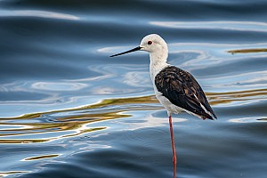 Black-backed Stilt