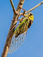 Resting Cicada