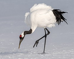 Red Crown Crane