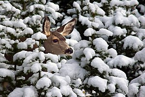 Mule Deer Head