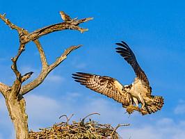 Osprey Building Nest